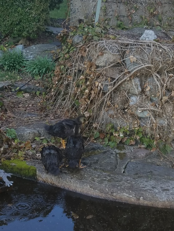 Ducks meet Pond