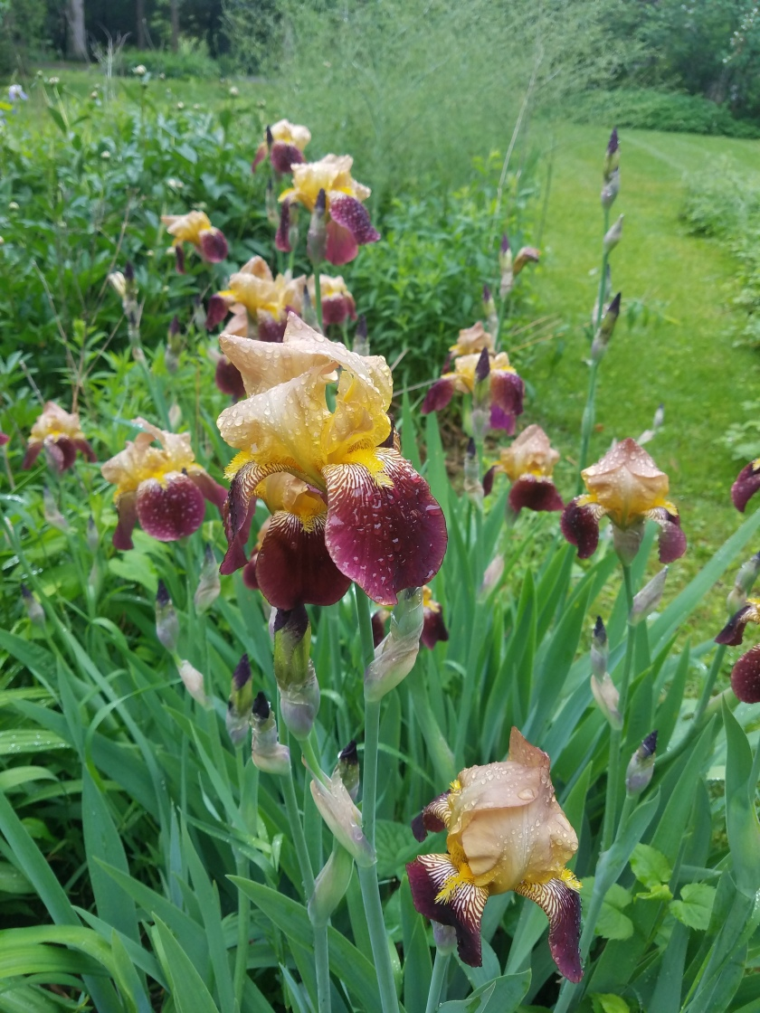 Irises after the Rain